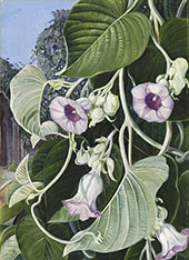 The Elephant Creeper of India By Marianne North