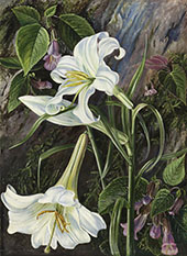 The Great Lily of Nainee Tal in North India By Marianne North