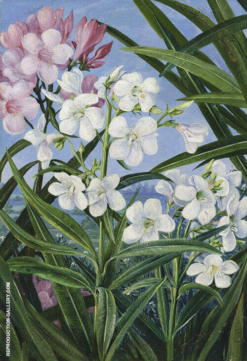 The Oleander By Marianne North